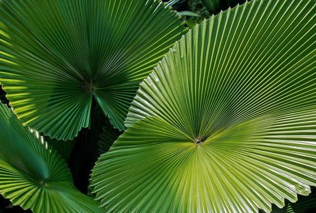 palm plant, fan palm plant
