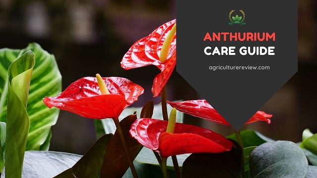 Anthurium Care Guide: How To Grow And Care For Anthurium Plant