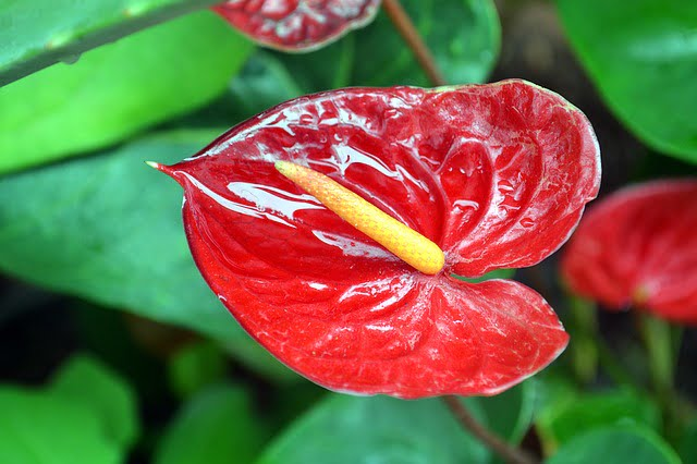 anthurium flower, anthurium, houseplant, agriculture review