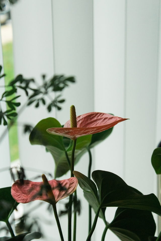 anthurium plant, anthurium flower