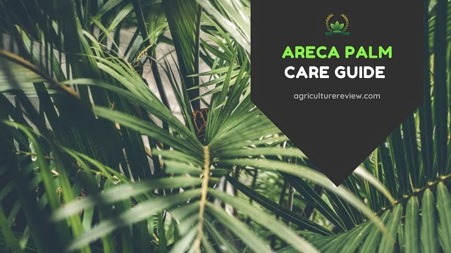 areca palm care, how to care for areca palm