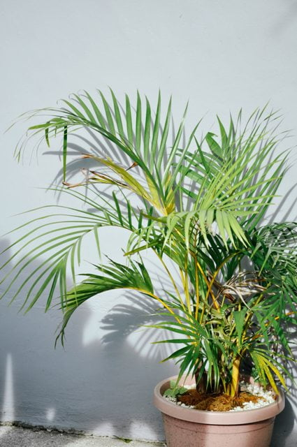 areca palm plant, how to grow areca palm