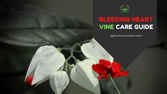 Bleeding Heart Vine Care: How To Grow And Care For Bleeding Heart