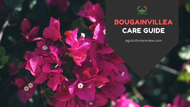 Bougainvillea Care Guide: How To Grow And Care For Bougainvillea