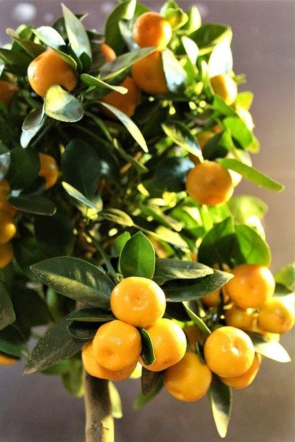 calamondin lime