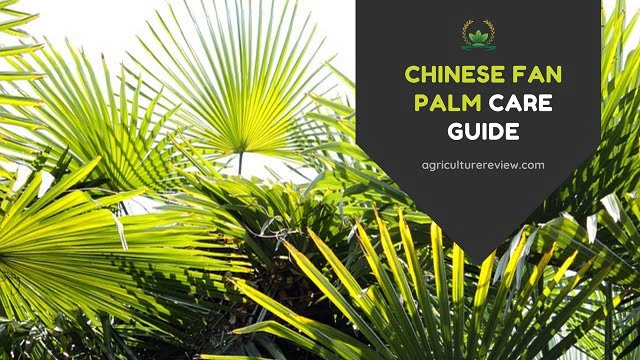 Chinese Fan Palm Care: How To Grow And Care For Chinese Fan Palm
