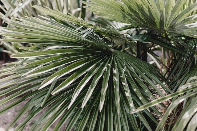fan palm care, Chinese fan palm