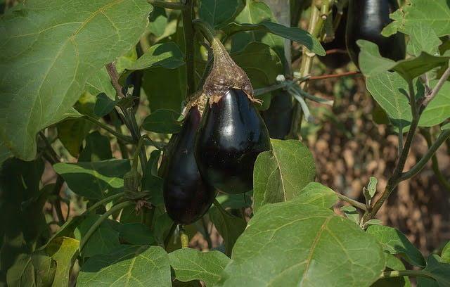 eggplant, brinjal, how to grow eggplant, summer vegetables