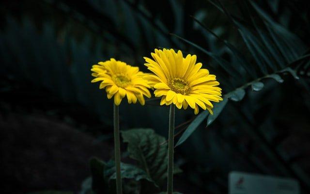 gerbera daisy flower, flowering plant