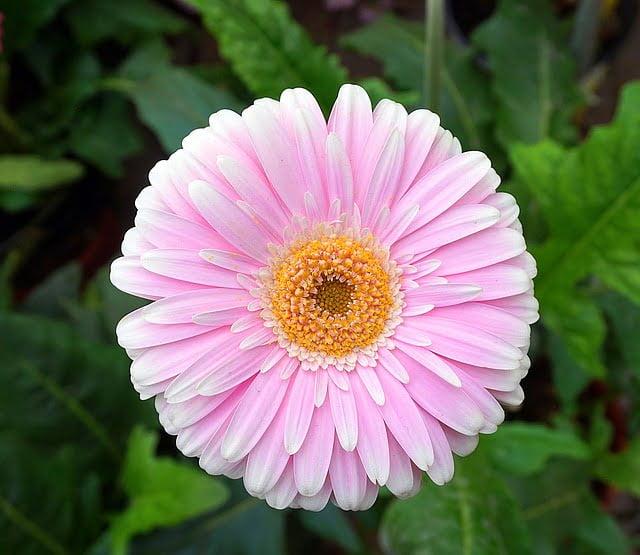 gerbera daisy plant, pink gerbera, gerbera flower