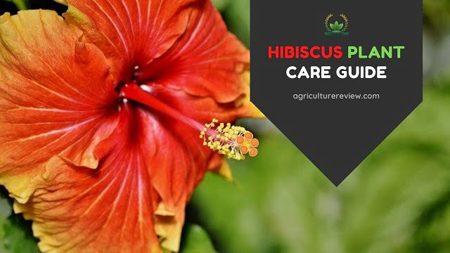 HIBISCUS CARE: How To Grow And Care For Hibiscus Flowering Plant