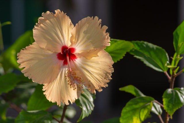 hibiscus, hibiscus plant, flowering plant, summer