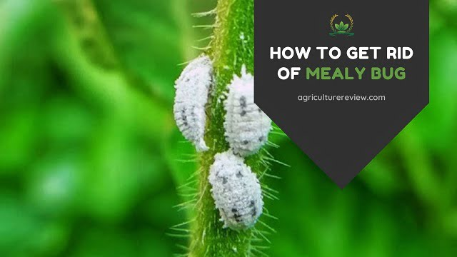 How To Get Rid Of MEALY Bug: The Best Way To Control Mealy Bugs