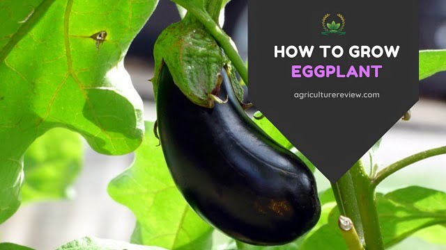 How To Grow Eggplant: Care, Planting & Gardening Tips