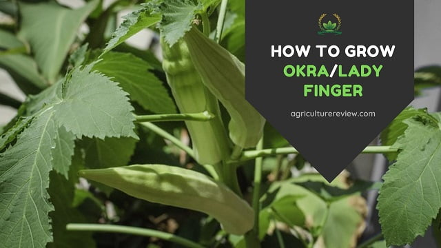 How To Grow Okra: Care, Planting & Gardening Tips