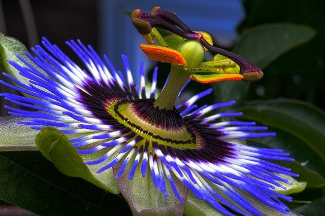 how to grow passion flower, passion flower, krishna kamal