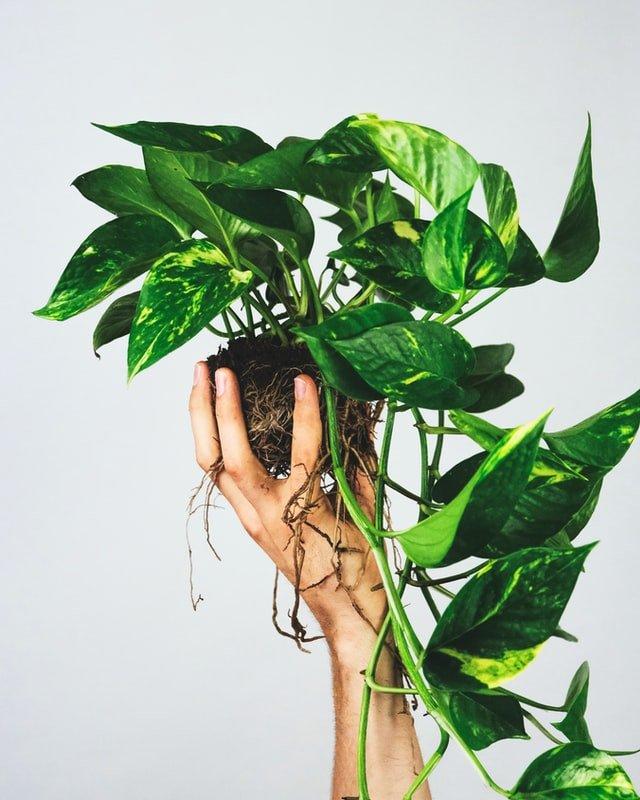 how to grow pothos, money plant, pothos care