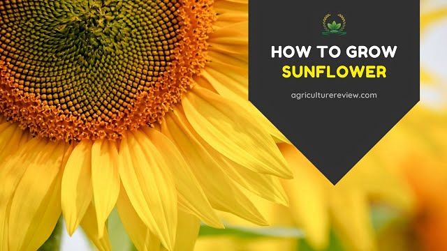 How To Grow Sunflower – Sunflower Plant Care & Gardening Advice