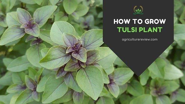 How To Grow Tulsi Plant: Make Tulsi Plant Bushier