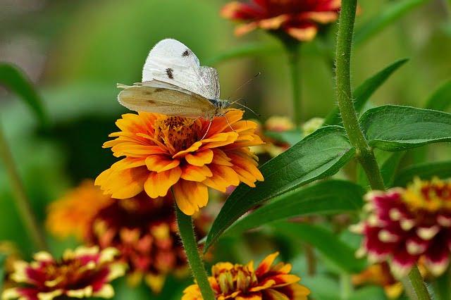 how to grow zinnia, zinnia, zinnia care,