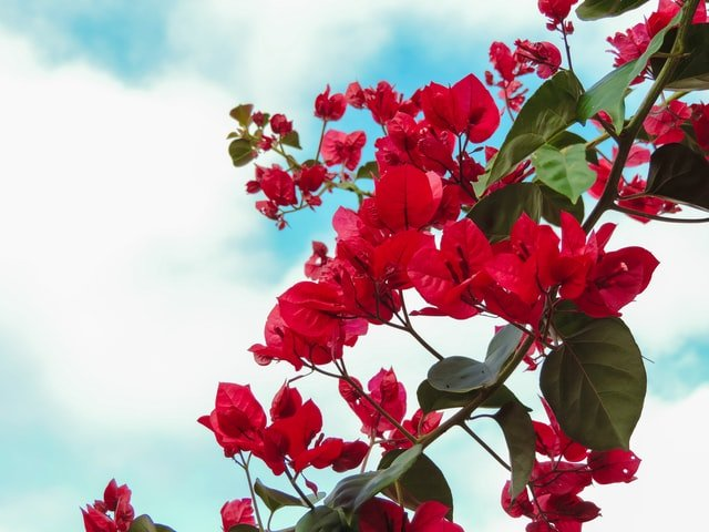 importance of bougainvillea, bougainvillea care, how to grow bougainvillea