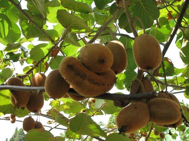 kiwi vine, kiwi plantation