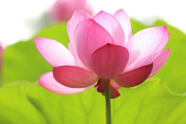 lotus flower, summer flower, lotus, sacred lotus, flowering plant