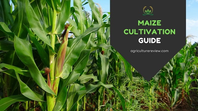 MAIZE CULTIVATION: Complete Guide On Farming Of Maize