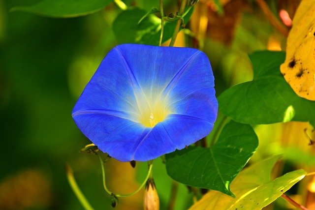 morning glory flower, flowering plant