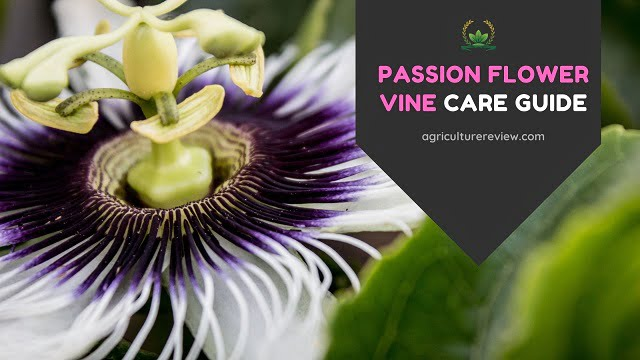passion flower care