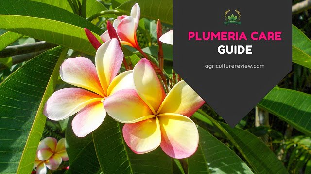 Plumeria Care: How To Grow And Care For Plumeria