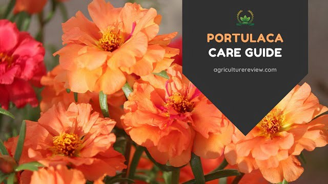 9 0 Clock Flowering Plant: How To  Grow And Portulaca Care Guide