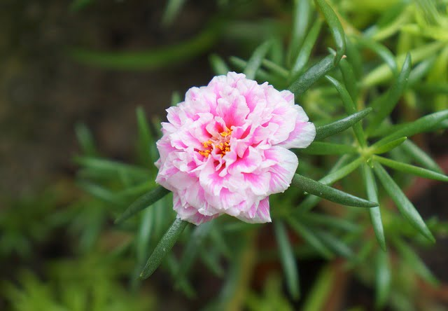 portulaca care, how to grow portulaca, 9 0 clock plant