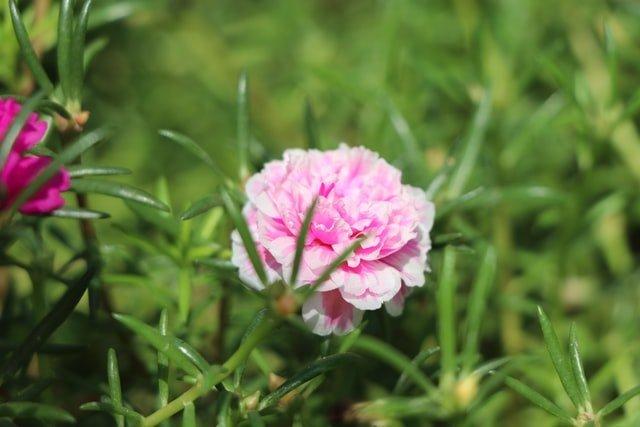 portulaca, 9 0 clock flower, flowering plant, summer flower, mexican rose, sun rose