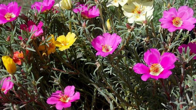 portulaca care, 9 0 clock flowering plant, portulaca