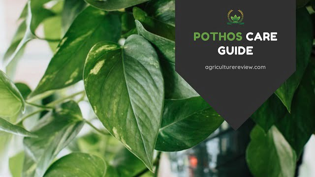 pothos care guide