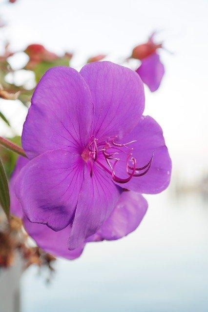 princess flower care, princess flower