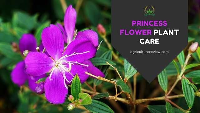 Princess Flower Care: How To grow And Care For Princess Flower