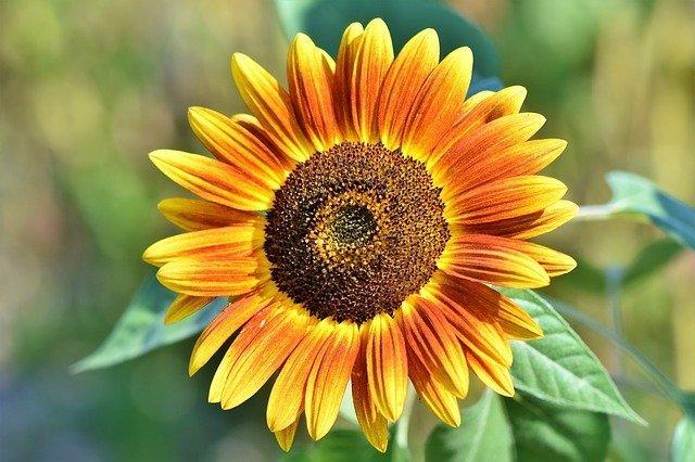 sunflower care, sunflower plant care, how to grow sunflower