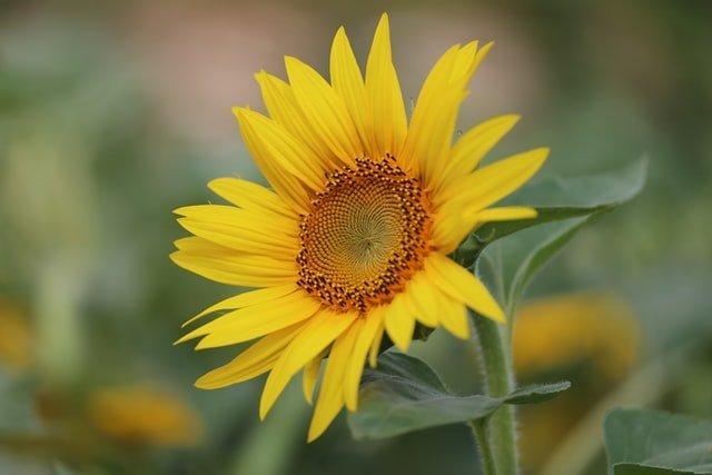 flower plant, summer, sunflower