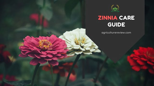 ZINNIA CARE: How To Grow And Care For Zinnia Flowering Plant