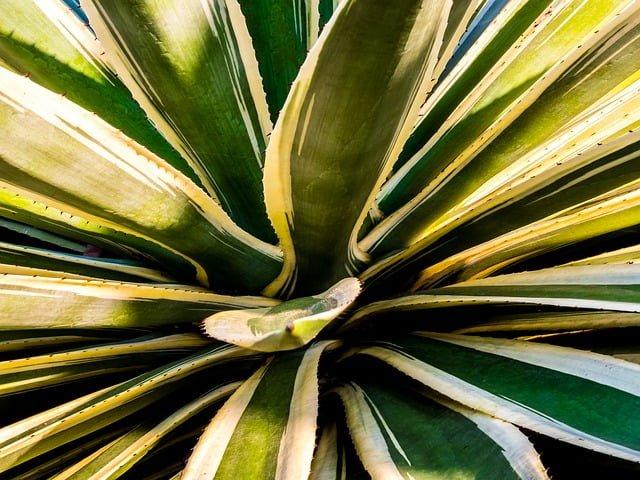 agave, agave plant