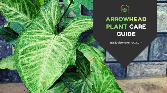 Arrowhead Plant Care: How To Grow And Care Arrowhead Plant