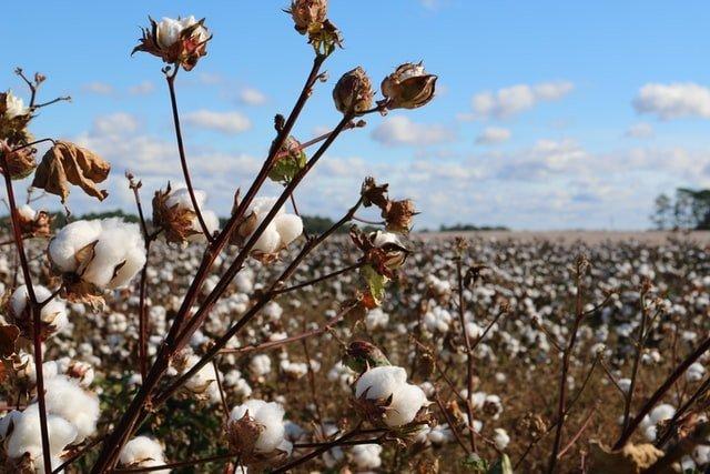 cotton farm, cotton crop, cotton cultivation, grow cotton, origin of cotton, how to grow cotton, cotton benefits
