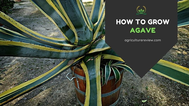 How To Grow Agave: Agave Plant Care & Gardening Advice
