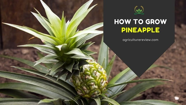 How To Grow Pineapple: Pineapple Plant Care & Gardening Advice