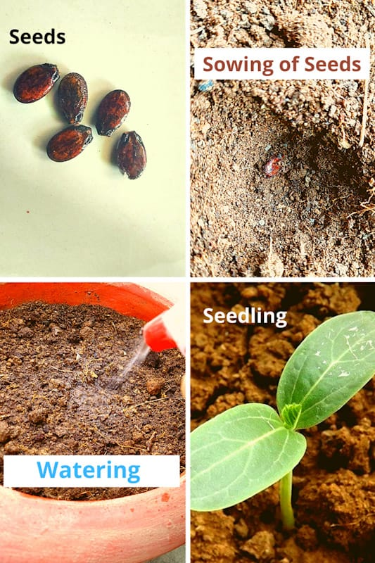 how to grow watermelon from seeds