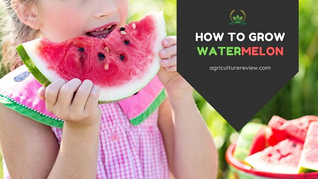 How To Grow Watermelon: Watermelon Plant Care & Gardening Advice