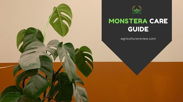 MONSTERA CARE: Complete Guide To Grow And Care For Monstera