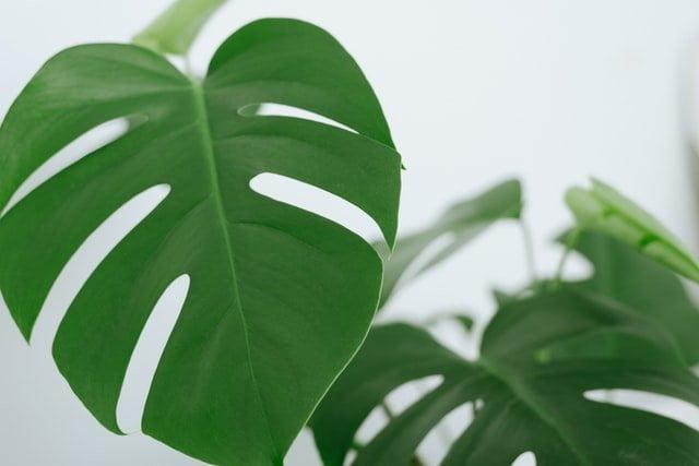 monstera leaf, monstera plant, monstera care, grow monstera